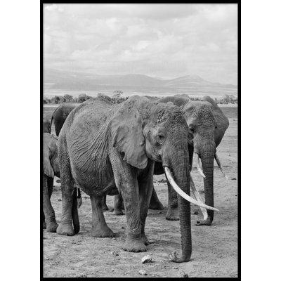 ELEPHANTS - Plakat 50x70 cm