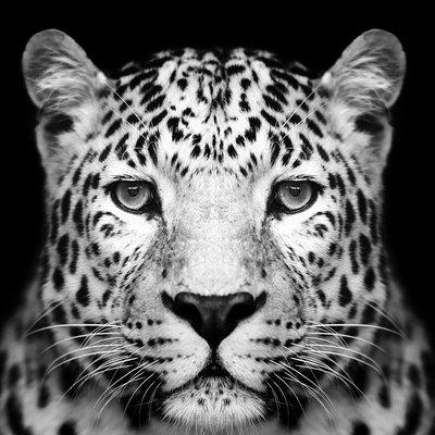 Glassbilde Panther - 80x80 cm